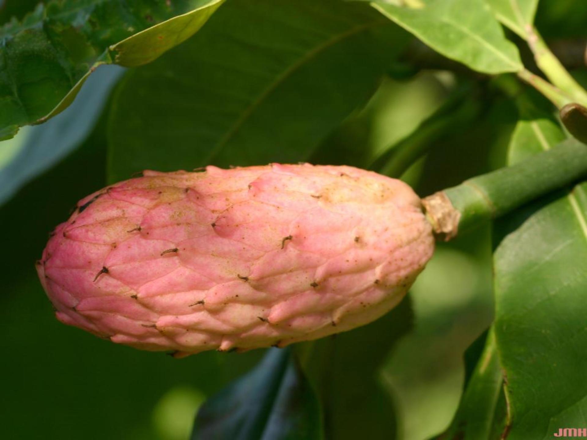 Magnolia tripetala L. (umbrella magnolia), fruit