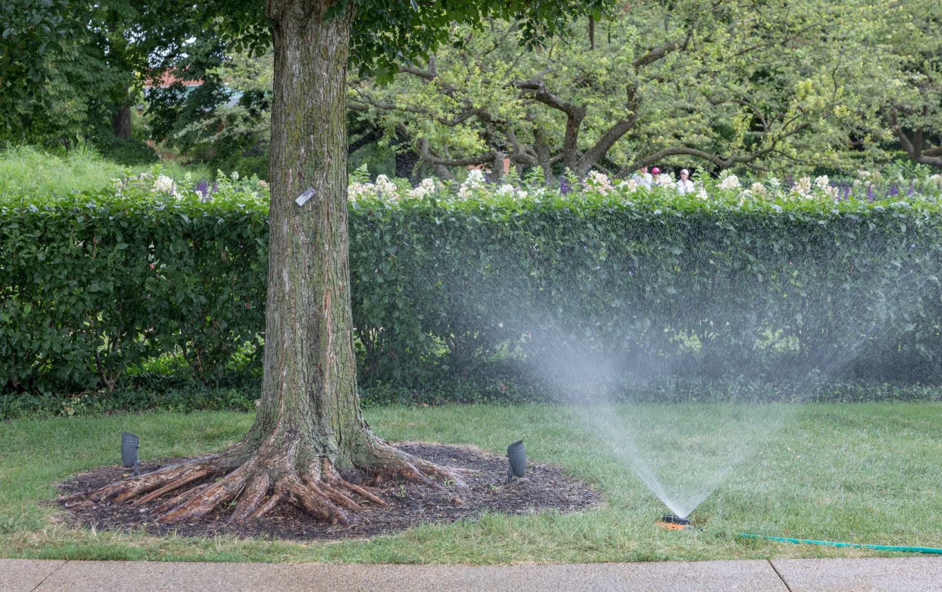 A tree being watered by a sprinkler.